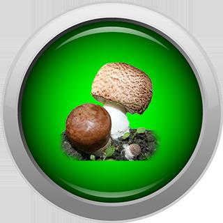 бета глюканы агарика бразильского
